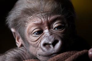 15_12_22-gorilla-baby--6-web