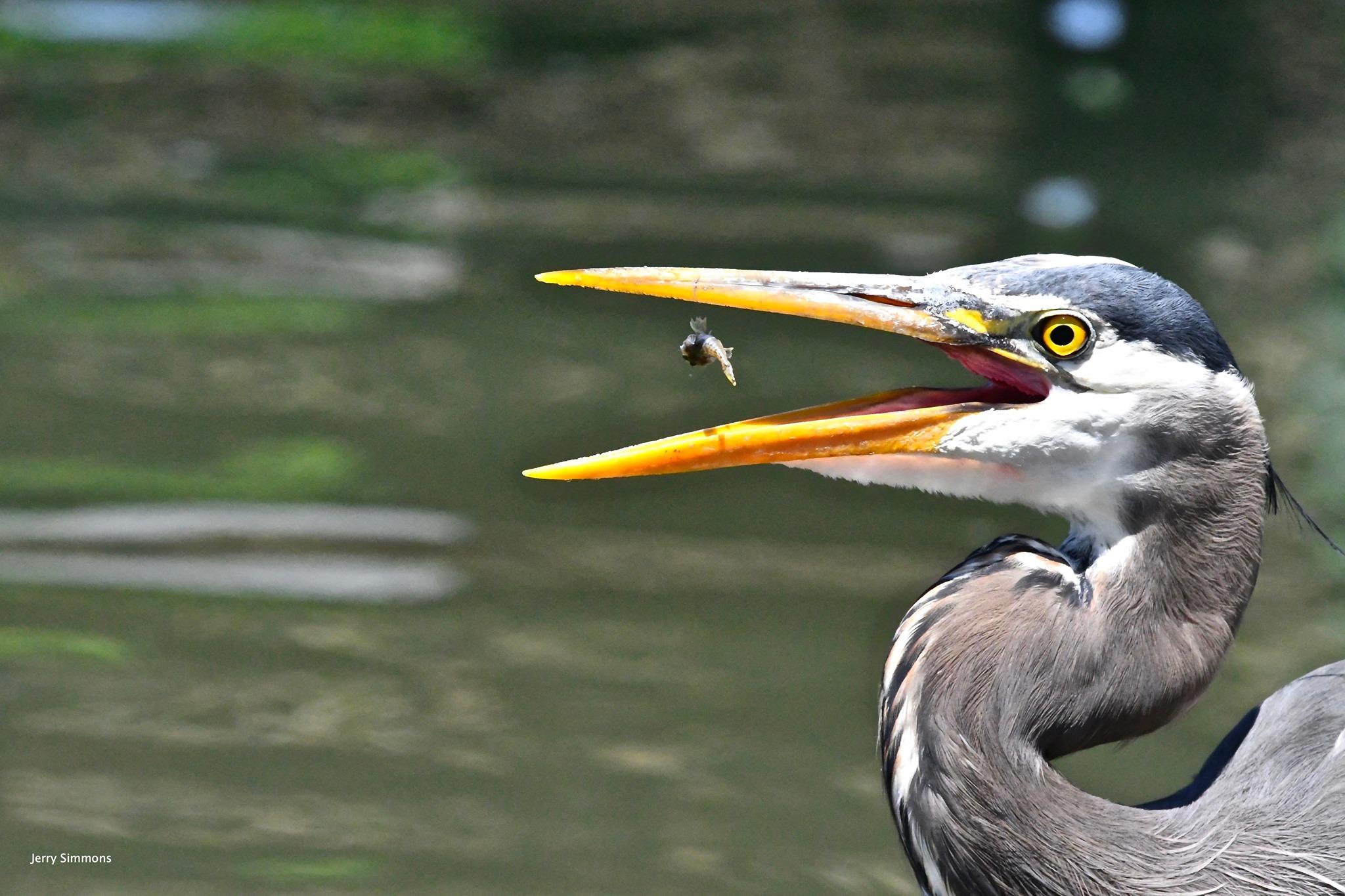 Wildlife in Ballard: Great Blue Herons at the Locks – My Ballard