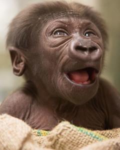 gorilla-baby-2016-web5